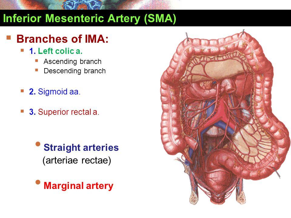 Inferior Mesenteric Artery (SMA)  Branches of IMA:  1. Left colic a.  Ascending branch  Descending branch  2. Sigmoid aa.  3. Superior rectal a.