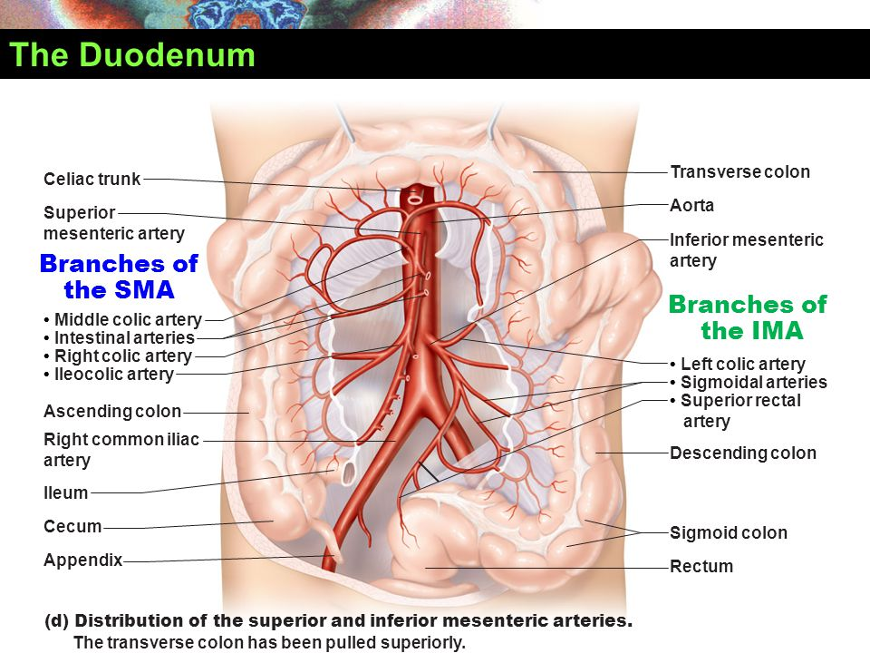 The Duodenum (d) Distribution of the superior and inferior mesenteric arteries. The transverse colon has been pulled superiorly. Celiac trunk Transver