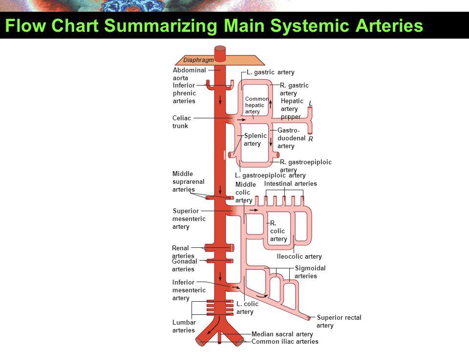 Abdominal aorta Inferior phrenic arteries Celiac trunk Superior mesenteric artery Middle suprarenal arteries Renal arteries Inferior mesenteric artery