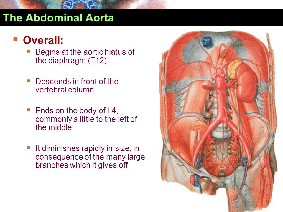 Abdominal aorta Inferior phrenic arteries Celiac trunk Superior mesenteric artery Middle suprarenal arteries Renal arteries Inferior mesenteric artery Lumbar arteries Median sacral artery Superior rectal artery L.