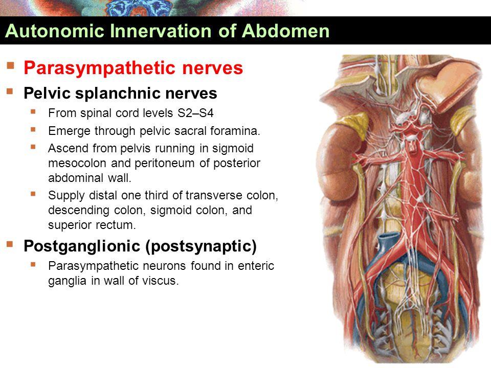  Parasympathetic nerves  Pelvic splanchnic nerves  From spinal cord levels S2–S4  Emerge through pelvic sacral foramina.  Ascend from pelvis runn
