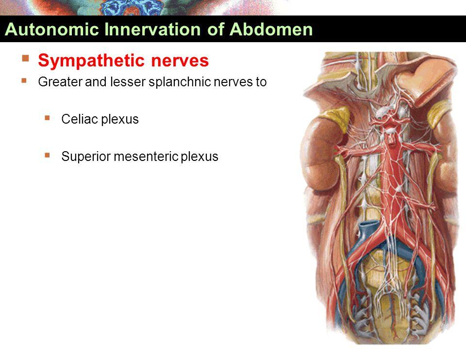 Sympathetic nerves  Greater and lesser splanchnic nerves to  Celiac plexus  Superior mesenteric plexus Autonomic Innervation of Abdomen