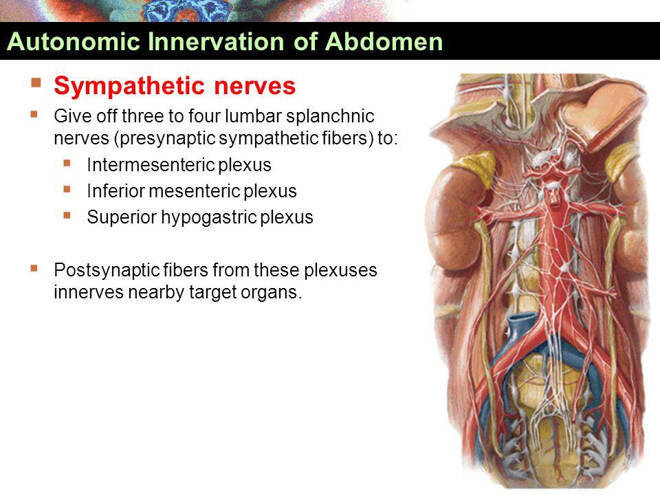  Sympathetic nerves  Give off three to four lumbar splanchnic nerves (presynaptic sympathetic fibers) to:  Intermesenteric plexus  Inferior mesent