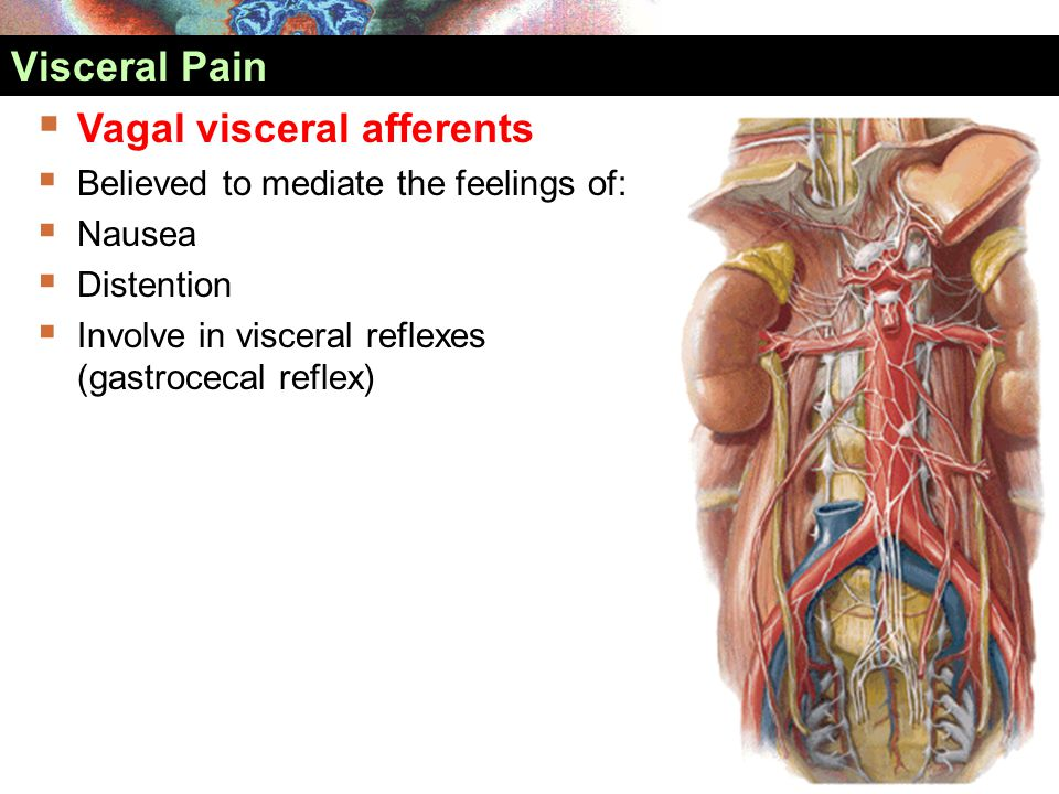  Vagal visceral afferents  Believed to mediate the feelings of:  Nausea  Distention  Involve in visceral reflexes (gastrocecal reflex) Visceral P