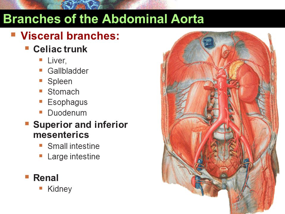  Sympathetic nerves  Greater and lesser splanchnic nerves to  Celiac plexus  Superior mesenteric plexus Autonomic Innervation of Abdomen