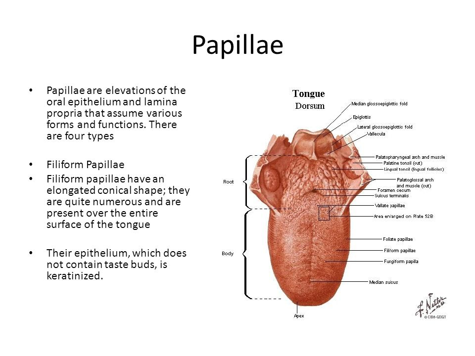 Papillae Papillae are elevations of the oral epithelium and lamina propria that assume various forms and functions. There are four types Filiform Papi