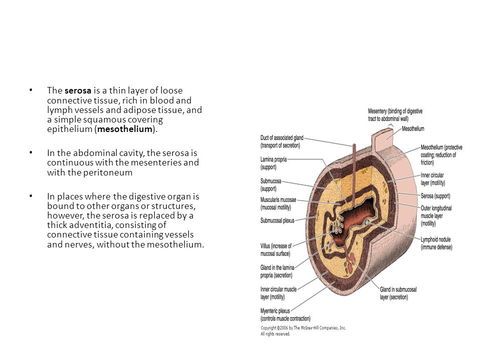 Basic mucosal forms in the GI tract Protective : stratified squamous epithelium that is found in the oral cavity, pharynx, the esophagus and the anal canal Seceretory : the mucosa consists of a long closely packed tubular glands, found in the stomach Absorptive ; the mucosa is arranged in a fingerlike projections called vili with intervening short glands called crypts, that is typical for the small intestine.
