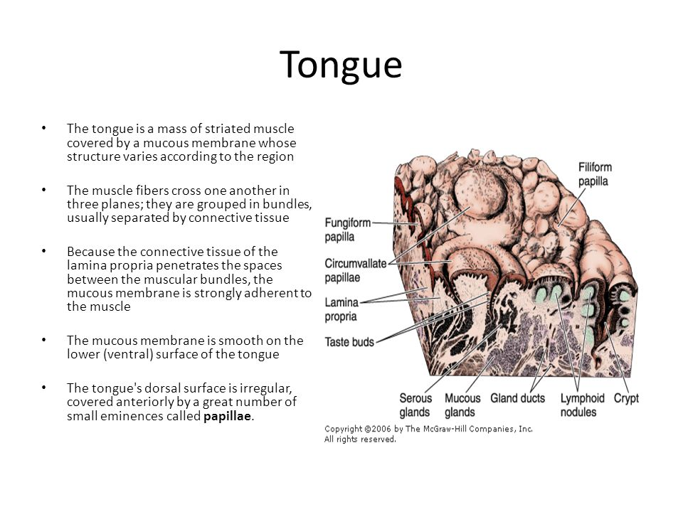 The posterior one-third of the dorsal surface of the tongue is separated from the anterior two-thirds by a V- shaped boundary Behind this boundary, the surface of the tongue shows small bulges composed mainly of two types of small lymphoid aggregations: small collections of lymphoid nodules and the lingual tonsils, where lymphoid nodules aggregate around invaginations (crypts) of the mucous membrane