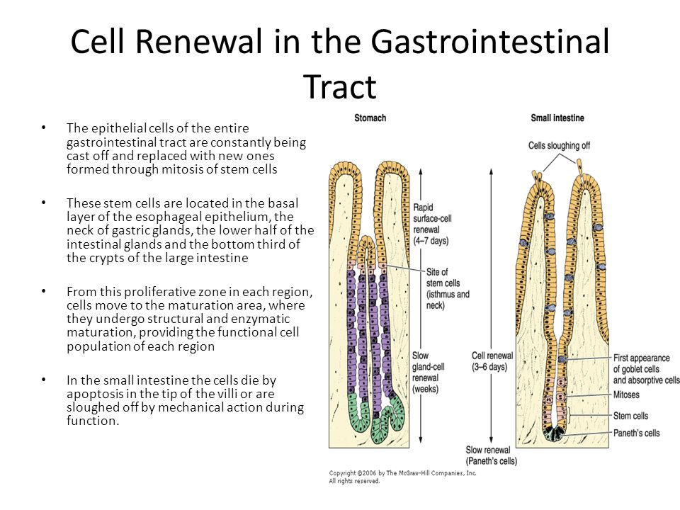 Cell Renewal in the Gastrointestinal Tract The epithelial cells of the entire gastrointestinal tract are constantly being cast off and replaced with n