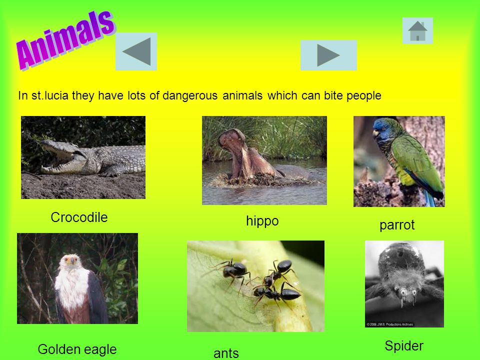 In st.lucia they have lots of dangerous animals which can bite people Crocodile hippo parrot Golden eagle ants Spider