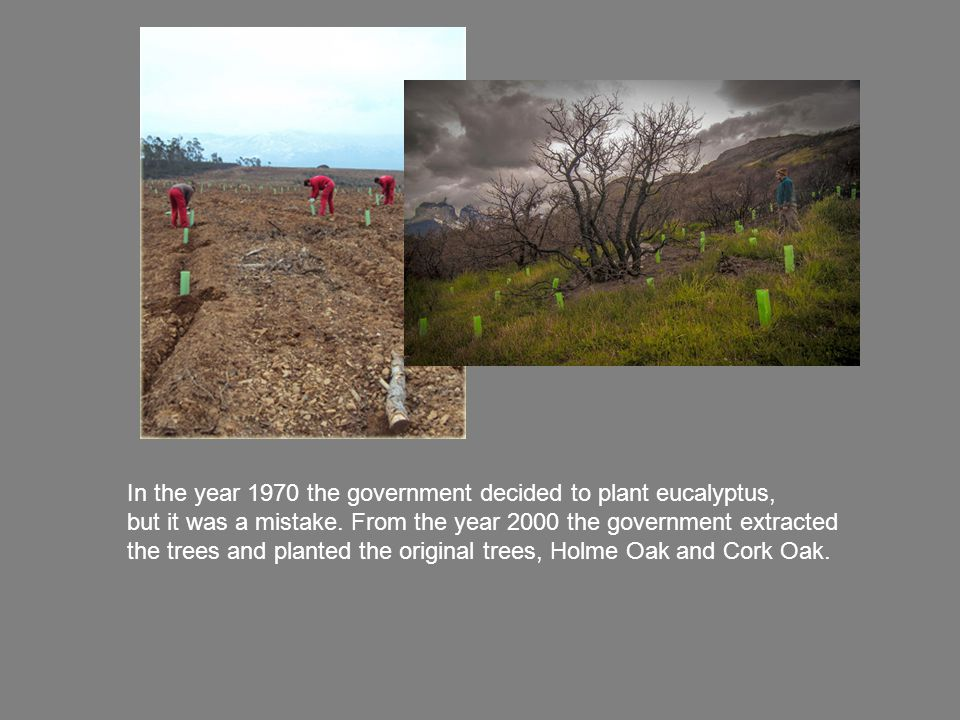 In the year 1970 the government decided to plant eucalyptus, but it was a mistake.