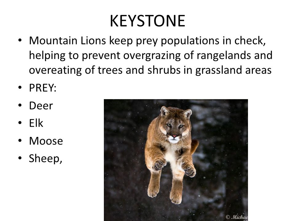 KEYSTONE Mountain Lions keep prey populations in check, helping to prevent overgrazing of rangelands and overeating of trees and shrubs in grassland areas PREY: Deer Elk Moose Sheep,