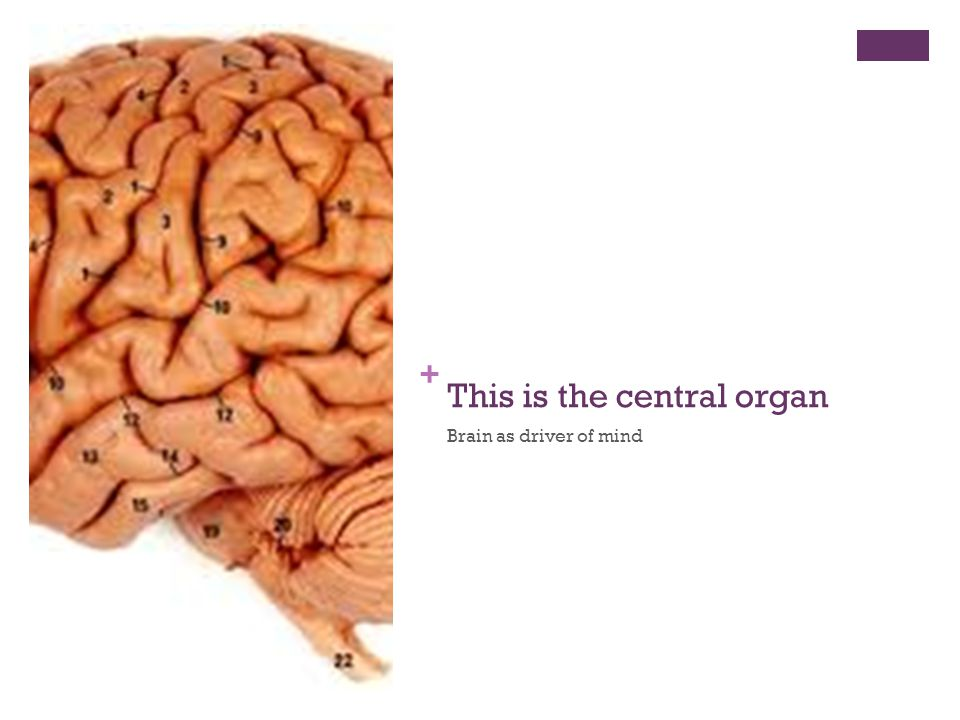 + This is the central organ Brain as driver of mind