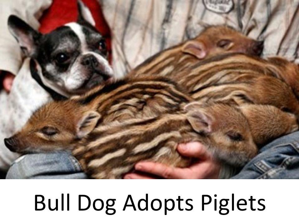 Bull Dog Adopts Piglets