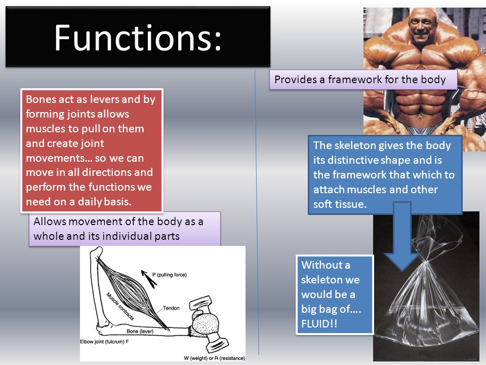 Functions: Provides a framework for the body Allows movement of the body as a whole and its individual parts The skeleton gives the body its distincti