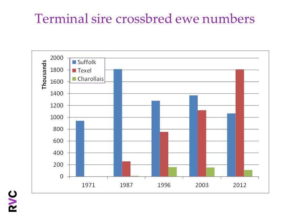 Terminal sire crossbred ewe numbers