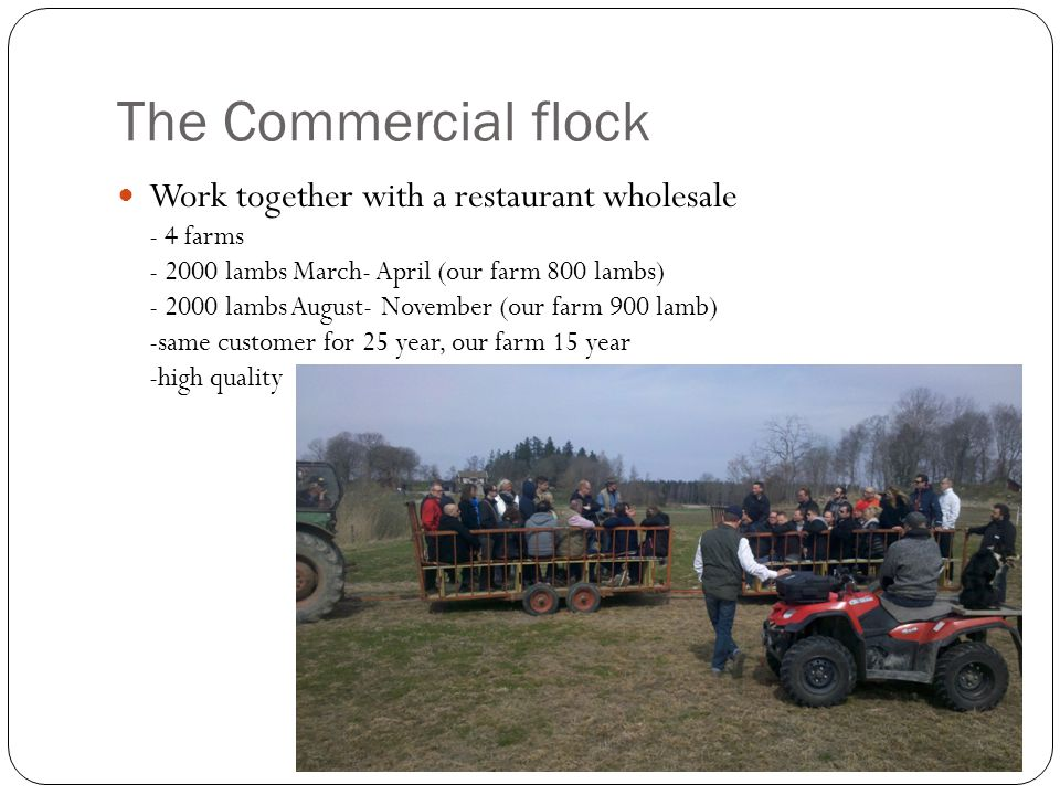 The Commercial flock Work together with a restaurant wholesale - 4 farms - 2000 lambs March- April (our farm 800 lambs) - 2000 lambs August- November