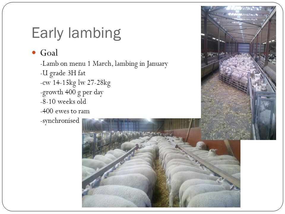 Early lambing Goal -Lamb on menu 1 March, lambing in January -U grade 3H fat -cw 14-15kg lw 27-28kg -growth 400 g per day -8-10 weeks old -400 ewes to