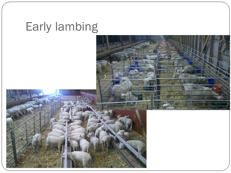 Early lambing