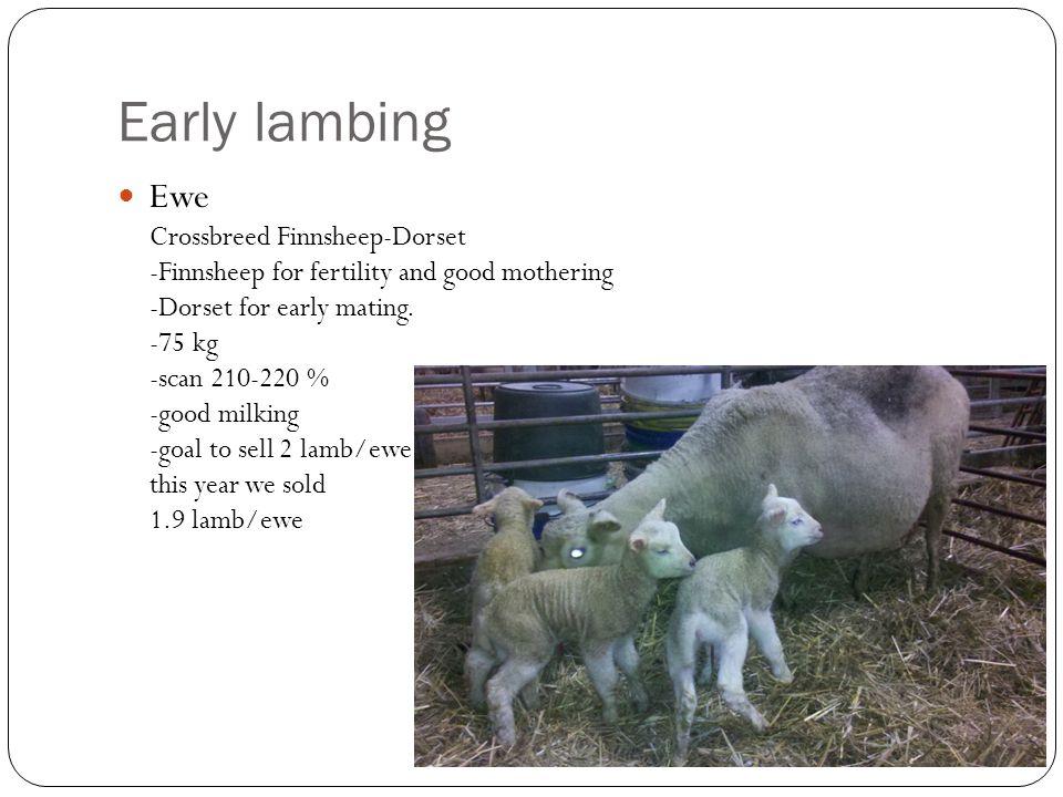 Ewe Crossbreed Finnsheep-Dorset -Finnsheep for fertility and good mothering -Dorset for early mating.