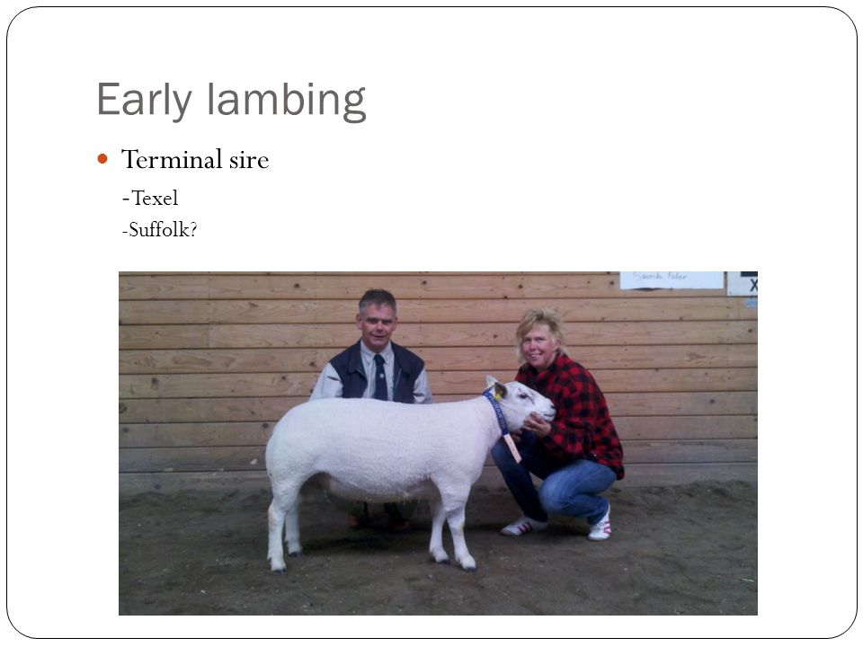 Early lambing Terminal sire - Texel -Suffolk