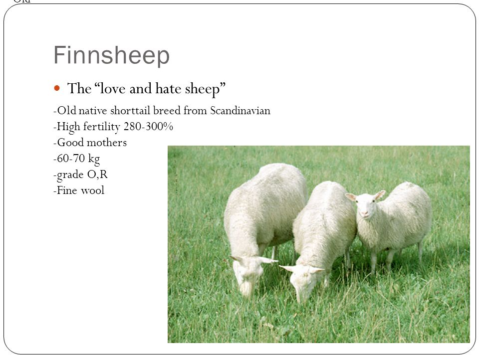 "Finnsheep The ""love and hate sheep"" -Old native shorttail breed from Scandinavian -High fertility 280-300% -Good mothers -60-70 kg -grade O,R -Fine wo"