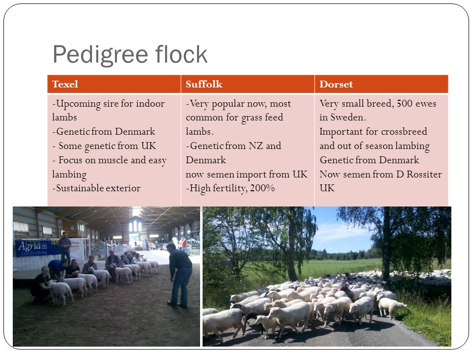 Pedigree flock TexelSuffolkDorset -Upcoming sire for indoor lambs -Genetic from Denmark - Some genetic from UK - Focus on muscle and easy lambing -Sus