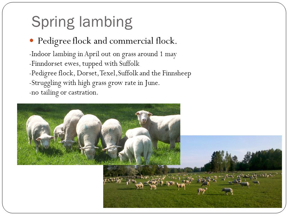 Spring lambing Pedigree flock and commercial flock. -Indoor lambing in April out on grass around 1 may -Finndorset ewes, tupped with Suffolk -Pedigree