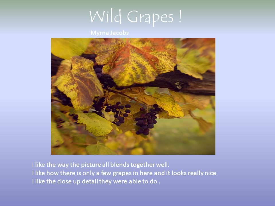 Wild Grapes ! Myrna Jacobs I like the way the picture all blends together well. I like how there is only a few grapes in here and it looks really nice