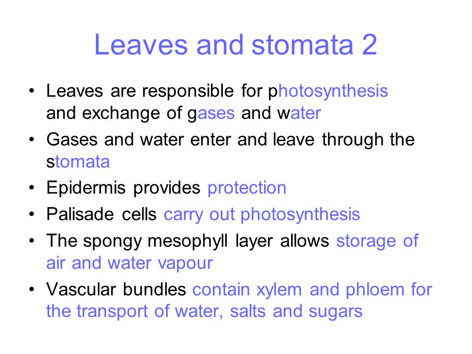 Leaves and stomata 2 Leaves are responsible for photosynthesis and exchange of gases and water Gases and water enter and leave through the stomata Epi