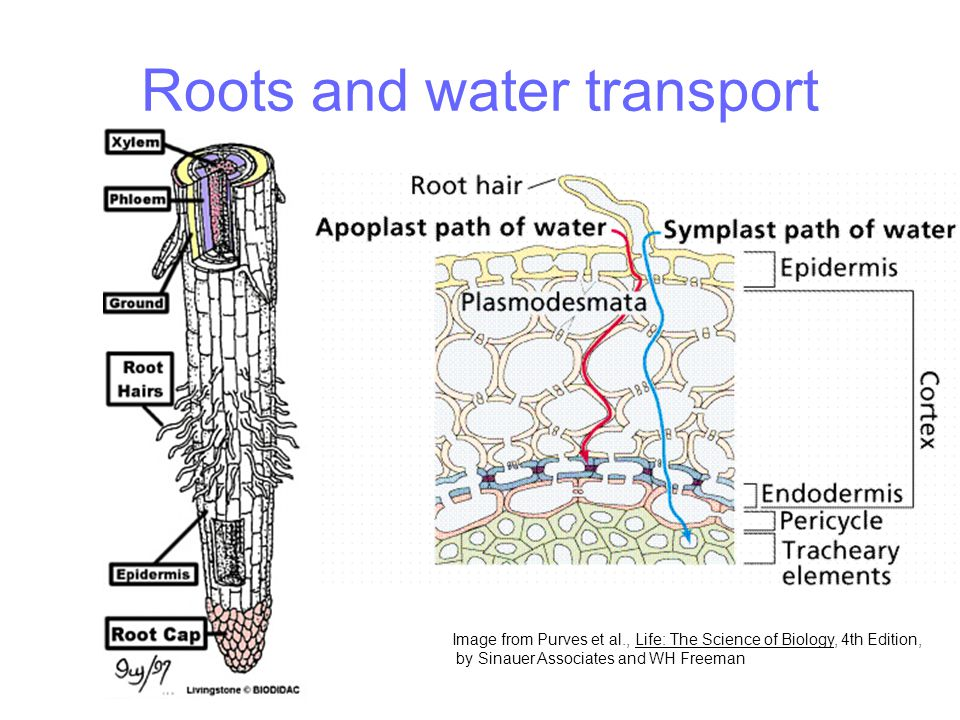 Roots and water transport Image from Purves et al., Life: The Science of Biology, 4th Edition, by Sinauer Associates and WH Freeman