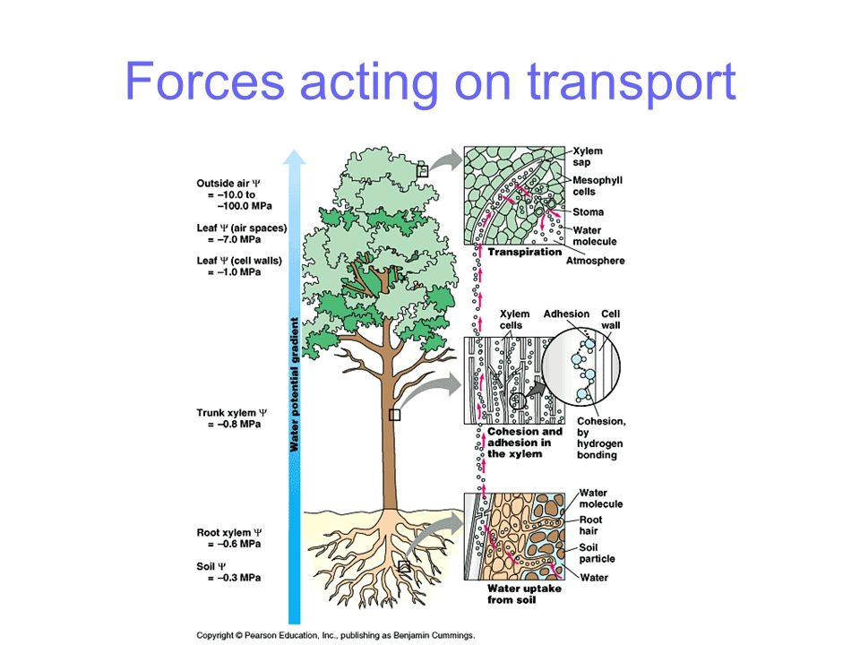 Plant adaptations - coastal Problems faced Water availability low Humidity low Temperature high Light high Air movement high – lots of sand and salt Solutions include Wide shallow root systems Rapid growth Can cope with burial Rolled leaves, sunken stomata, reduced stomata and/or hairs Succulent leaves Salt secretion in leaves