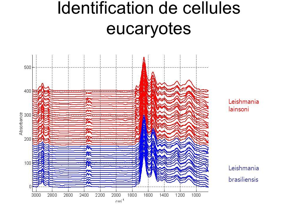 Identification de cellules eucaryotes Leishmania lainsoni Leishmania brasiliensis