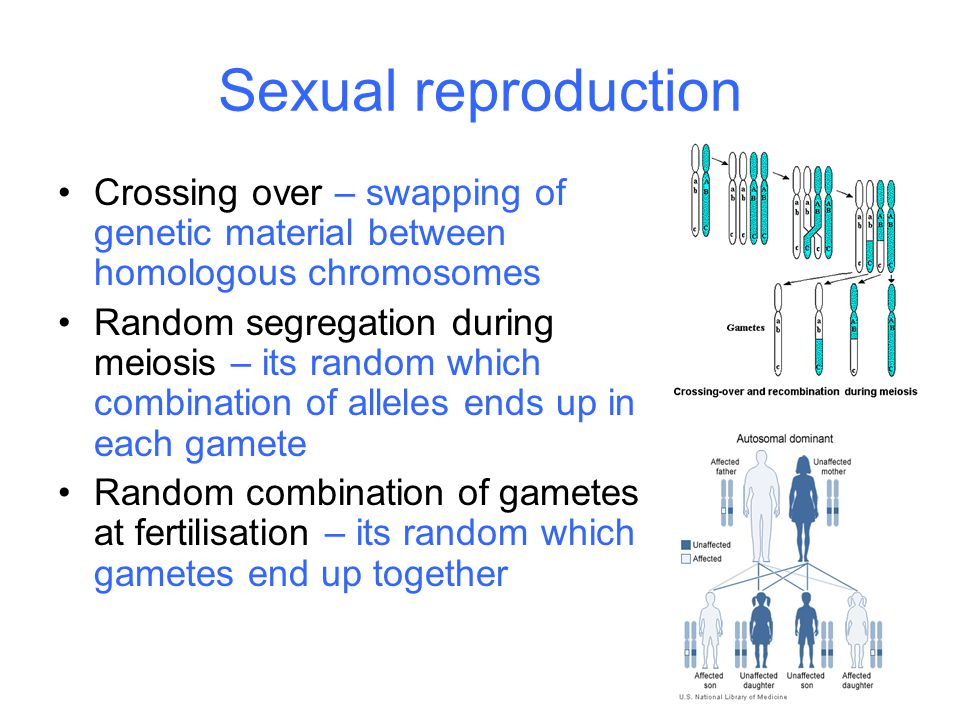 Sexual reproduction Crossing over – swapping of genetic material between homologous chromosomes Random segregation during meiosis – its random which c