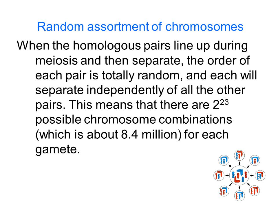 Random assortment of chromosomes When the homologous pairs line up during meiosis and then separate, the order of each pair is totally random, and each will separate independently of all the other pairs.
