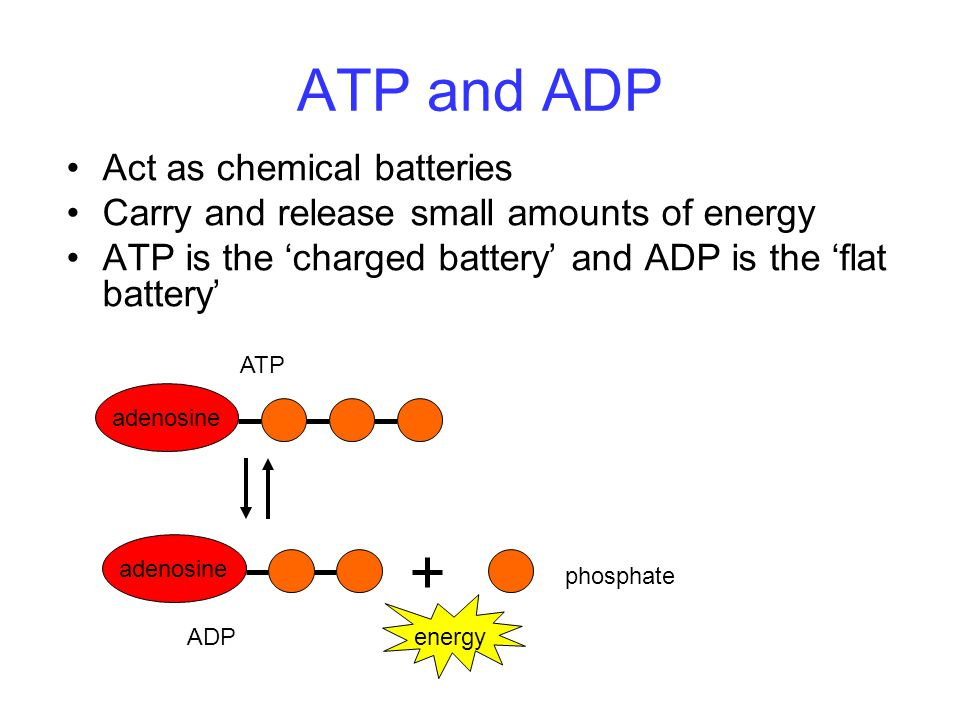ATP and ADP Act as chemical batteries Carry and release small amounts of energy ATP is the 'charged battery' and ADP is the 'flat battery' energy aden
