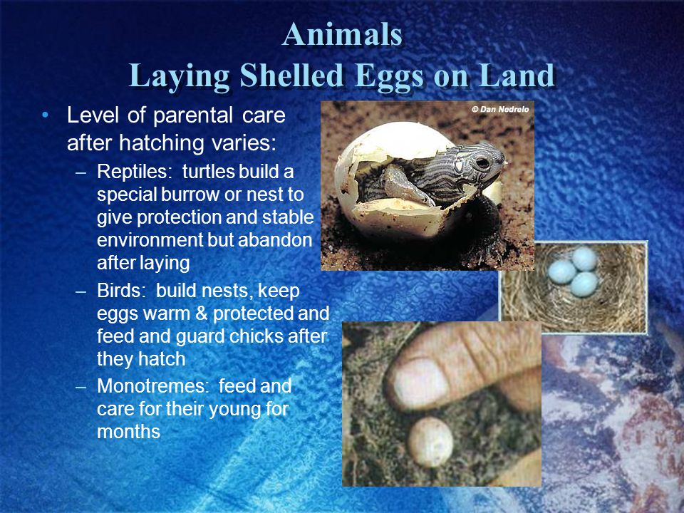 Animals Laying Shelled Eggs on Land Level of parental care after hatching varies: –Reptiles: turtles build a special burrow or nest to give protection