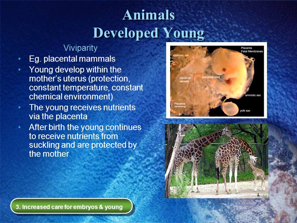 Animals Developed Young Viviparity Eg. placental mammals Young develop within the mother's uterus (protection, constant temperature, constant chemical