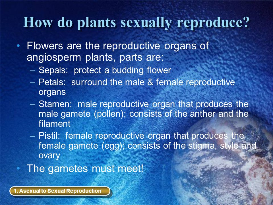 How do plants sexually reproduce? Flowers are the reproductive organs of angiosperm plants, parts are: –Sepals: protect a budding flower –Petals: surr