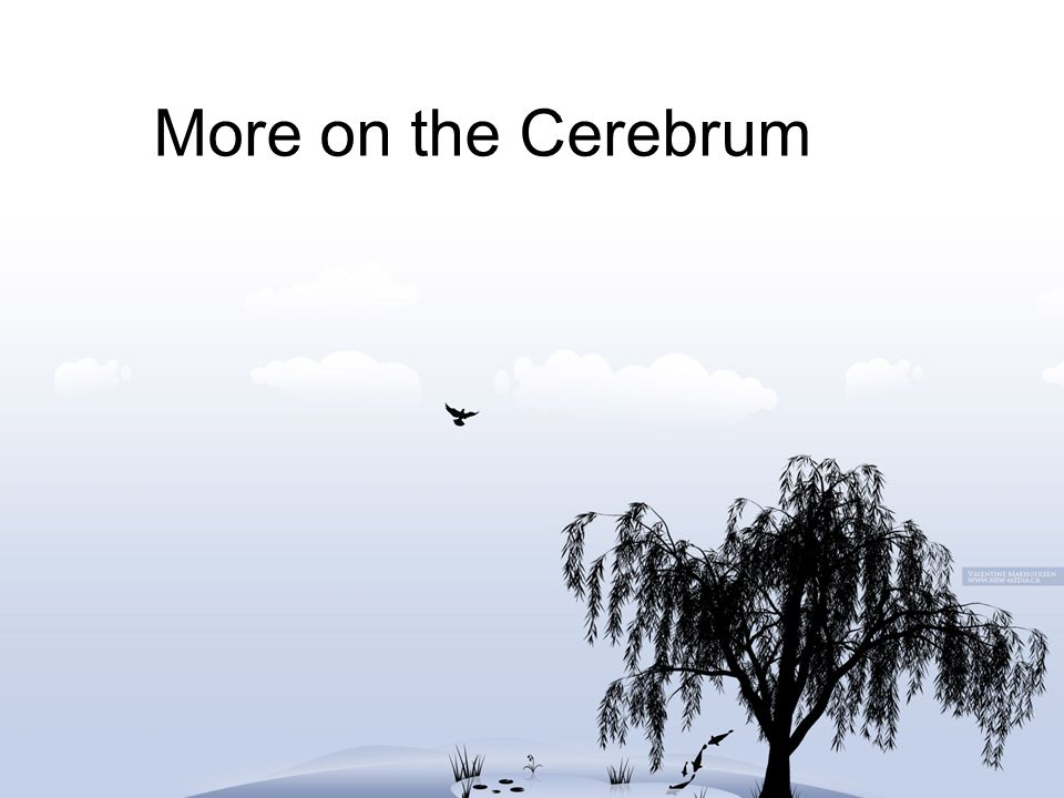 More on the Cerebrum