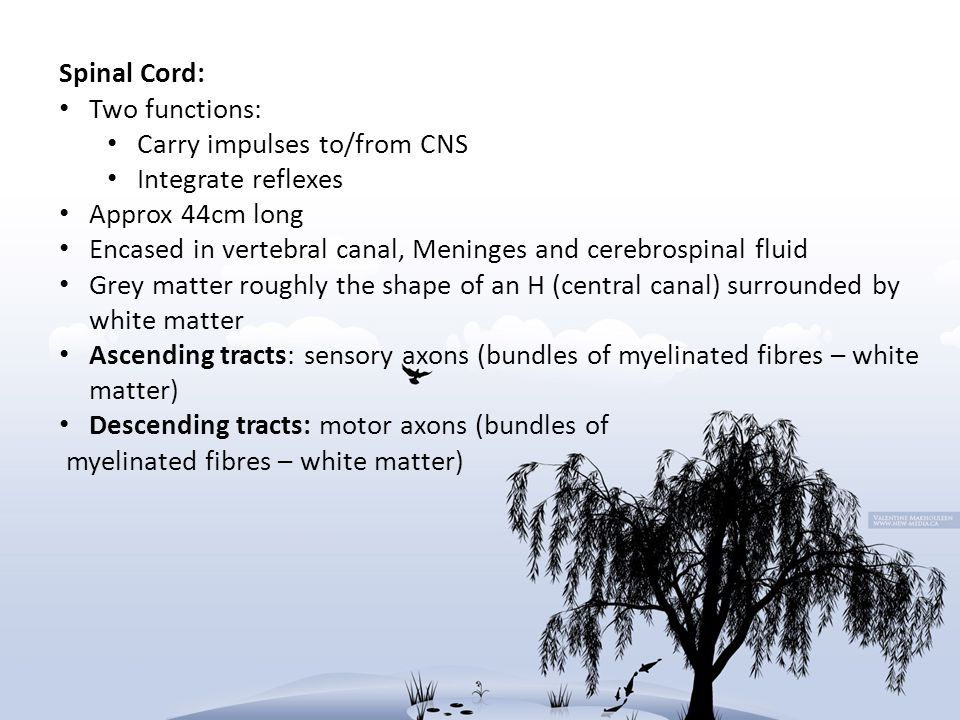 Spinal Cord: Two functions: Carry impulses to/from CNS Integrate reflexes Approx 44cm long Encased in vertebral canal, Meninges and cerebrospinal flui