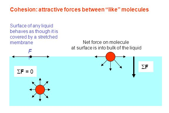 """Cohesion: attractive forces between """"like"""" molecules  F = 0 FF Net force on molecule at surface is into bulk of the liquid FTFT Surface of any liqu"""