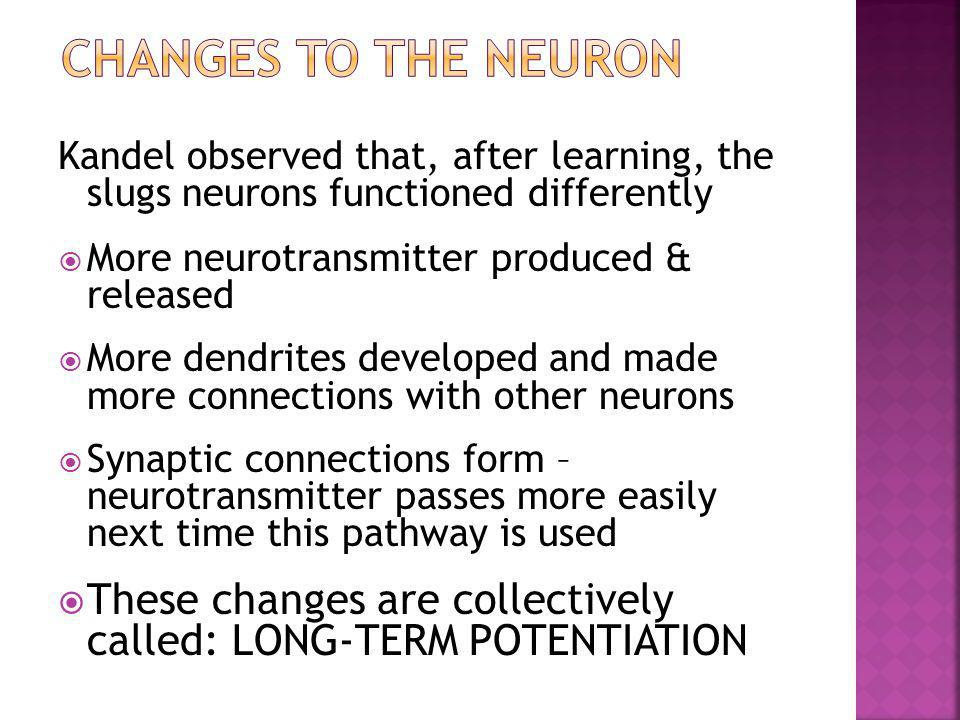 Kandel observed that, after learning, the slugs neurons functioned differently  More neurotransmitter produced & released  More dendrites developed
