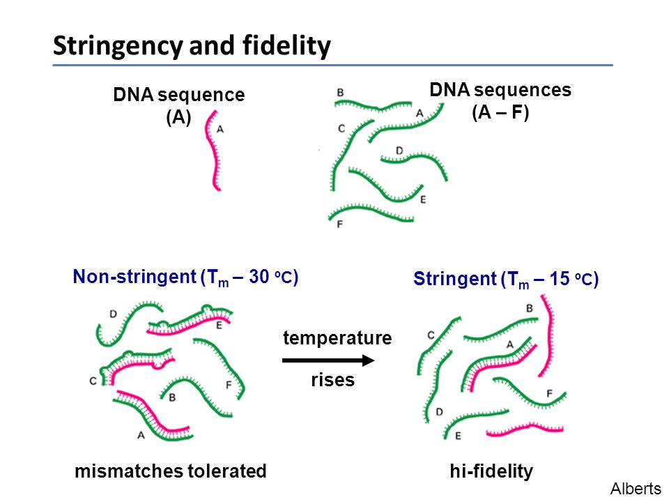Stringency and fidelity mismatches toleratedhi-fidelity DNA sequence (A) Non-stringent (T m – 30 ºC ) Stringent (T m – 15 ºC ) Alberts temperature ris