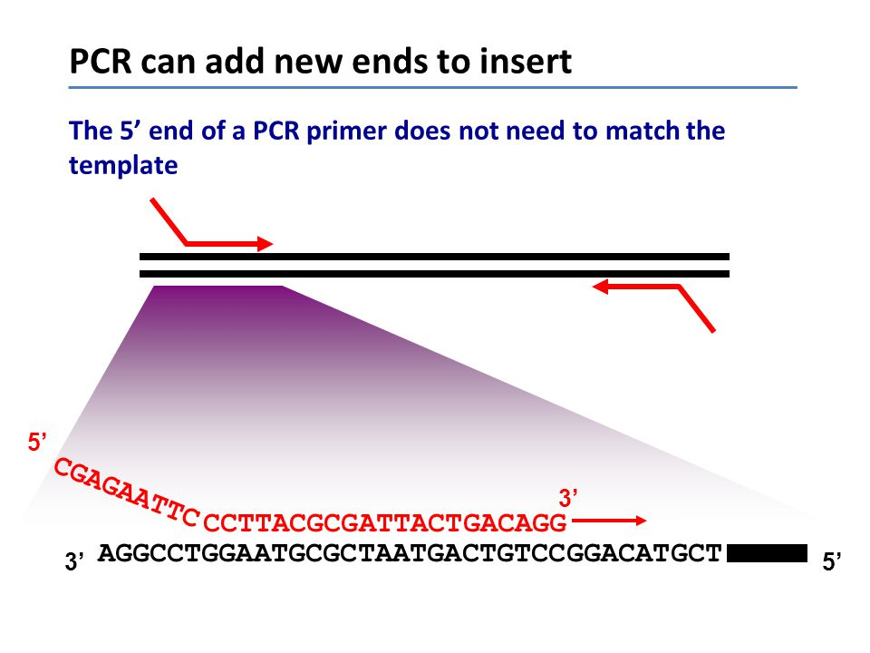 PCR can add new ends to insert The 5' end of a PCR primer does not need to match the template AGGCCTGGAATGCGCTAATGACTGTCCGGACATGCT CCTTACGCGATTACTGACA