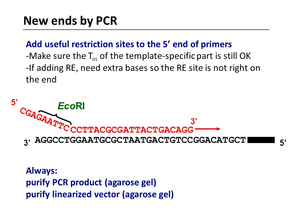 New ends by PCR Add useful restriction sites to the 5' end of primers -Make sure the T m of the template-specific part is still OK -If adding RE, need