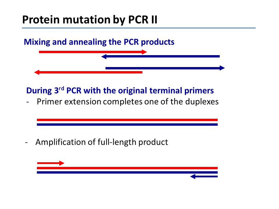 zz z z Protein mutation by PCR II -Amplification of full-length product Mixing and annealing the PCR products During 3 rd PCR with the original termin