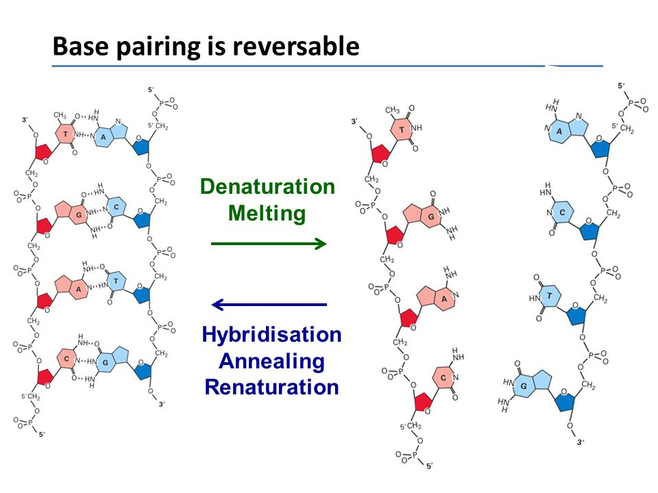 Base pairing is reversable Denaturation Melting Hybridisation Annealing Renaturation