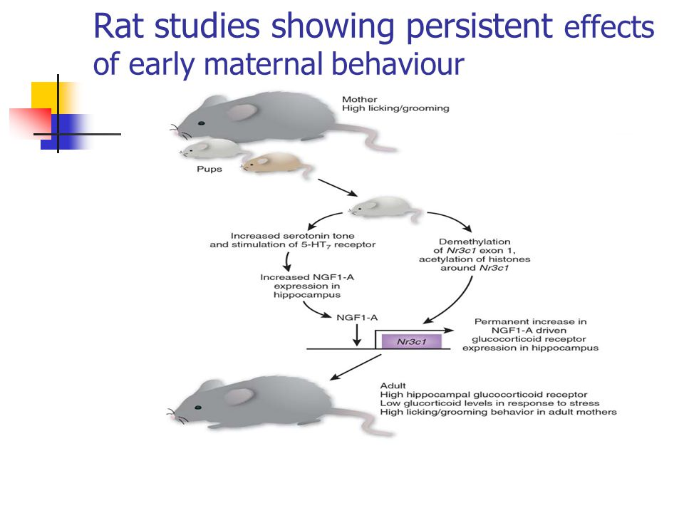 Rat studies showing persistent effects of early maternal behaviour