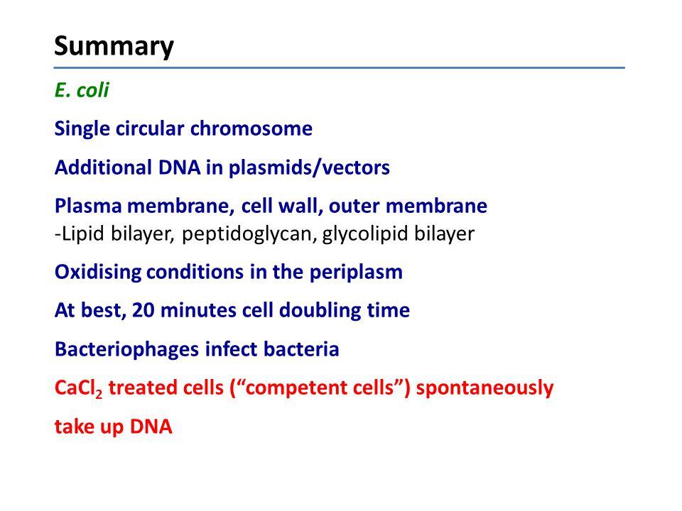 E. coli Single circular chromosome Additional DNA in plasmids/vectors Plasma membrane, cell wall, outer membrane -Lipid bilayer, peptidoglycan, glycol